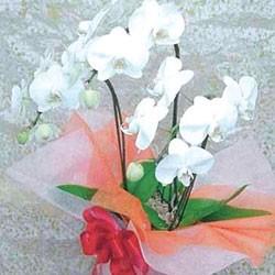 鉢植・ミニ胡蝶蘭(白3本立)