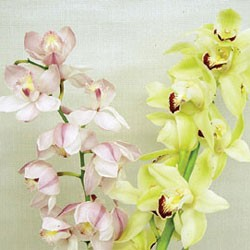 Birth Flower CYMBIDIUM (Jan)