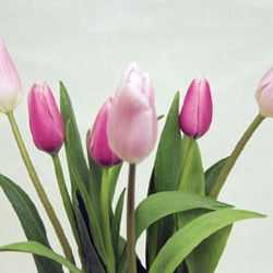 Birth Flower TULIP (Feb)