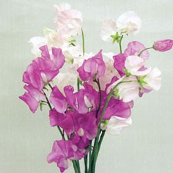 Birth Flower SWEET PEA (Mar)