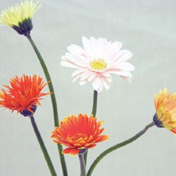 Birth Flower GERBERA (Apr)
