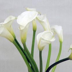 誕生花・カラー(5月)