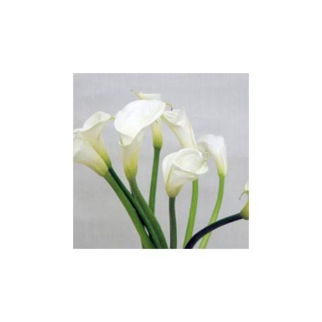 Birth Flower CALLA (May)