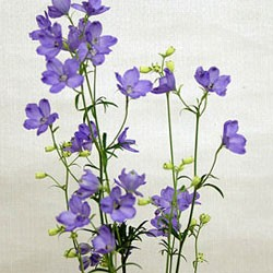 Birth Flower DELPHINIUM (Jun)
