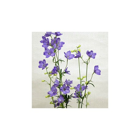 Birth Flower DELPHINIUM (Jun)