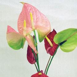 誕生花・アンスリウム(7月)