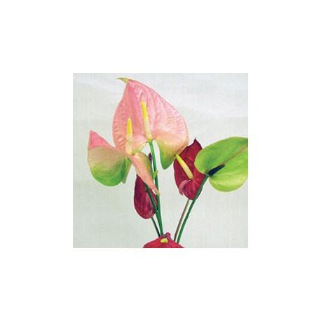 Birth Flower ANTHURIUM (Jul)