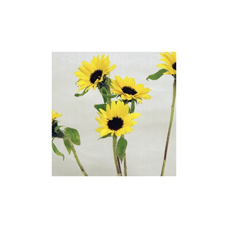 Birth Flower SUNFLOWER (Aug)