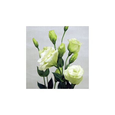 Birth Flower EUSTOMA (Sep)