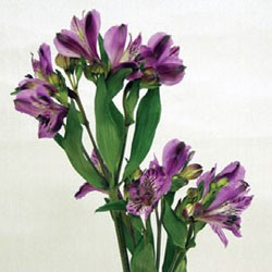 Birth Flower ALSTROEMERIA (Oct)
