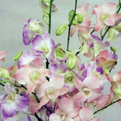 Birth Flower DENDROBIUM (Nov)