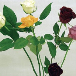 Birth Flower ROSE (Dec)