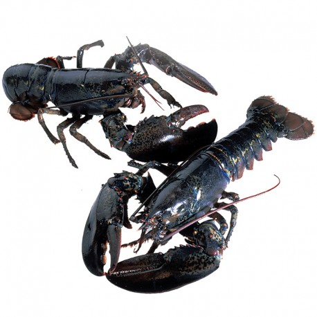 Live Homarus Lobster 450g (3pcs)