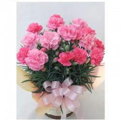 <母の日>カーネーションピンク(鉢植)かご付き 5号鉢