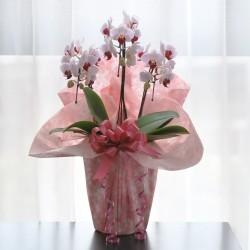 鉢植・ミニ胡蝶蘭(ピンク3本立)