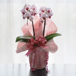 Potted Mini Pink Phalaenopsis 2 Plants