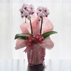 鉢植・ミニ胡蝶蘭(ピンク2本立)