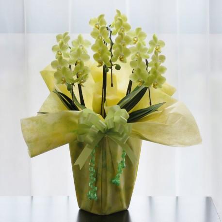 Potted Mini Yellow Phalaenopsis 3 Plants