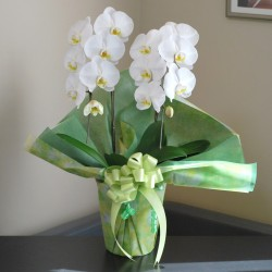 Potted White Phalaenopsis 2 Plants