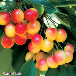 Northwest Rainier Cherry 6.6lbs (Web Exclusive)