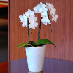 TOMIOKA NO KINU Phalaenopsis 2 Plant (Mothers Day)