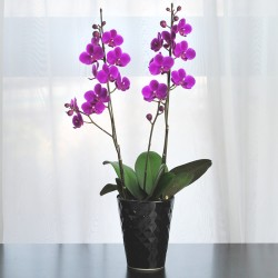 KUNERAI Phalaenopsis 2 Plant (Mothers Day)