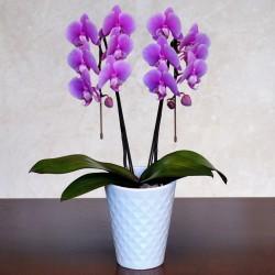 MURASAKI Phalaenopsis 2 Plant (Mothers Day)