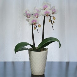 MOMOHIME Phalaenopsis 2 Plant (Mothers Day) LIMITED QTY