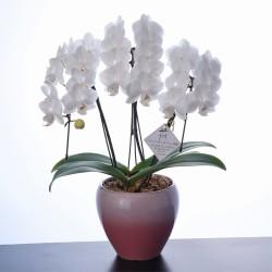 <母の日>ホワイトシルク 胡蝶蘭3本立(ミディ)