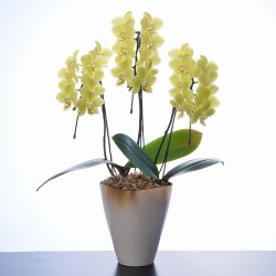 KEITI Phalaenopsis 3 Plant (Mothers Day) LIMITED QTY